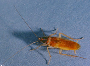 brow-banded cockroach