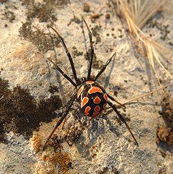 250px-Latrodectus_tredecimguttatus_female