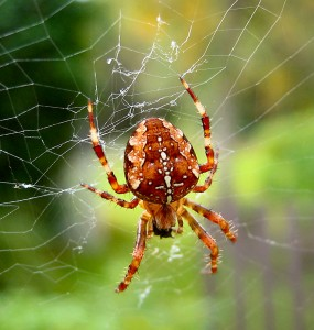 Spider_Araneus_diadematus