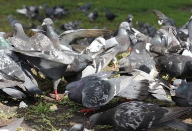 pigeons-1029602_960_720