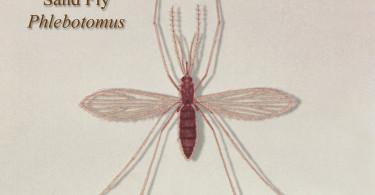 15423-illustration-of-a-sand-fly-pv