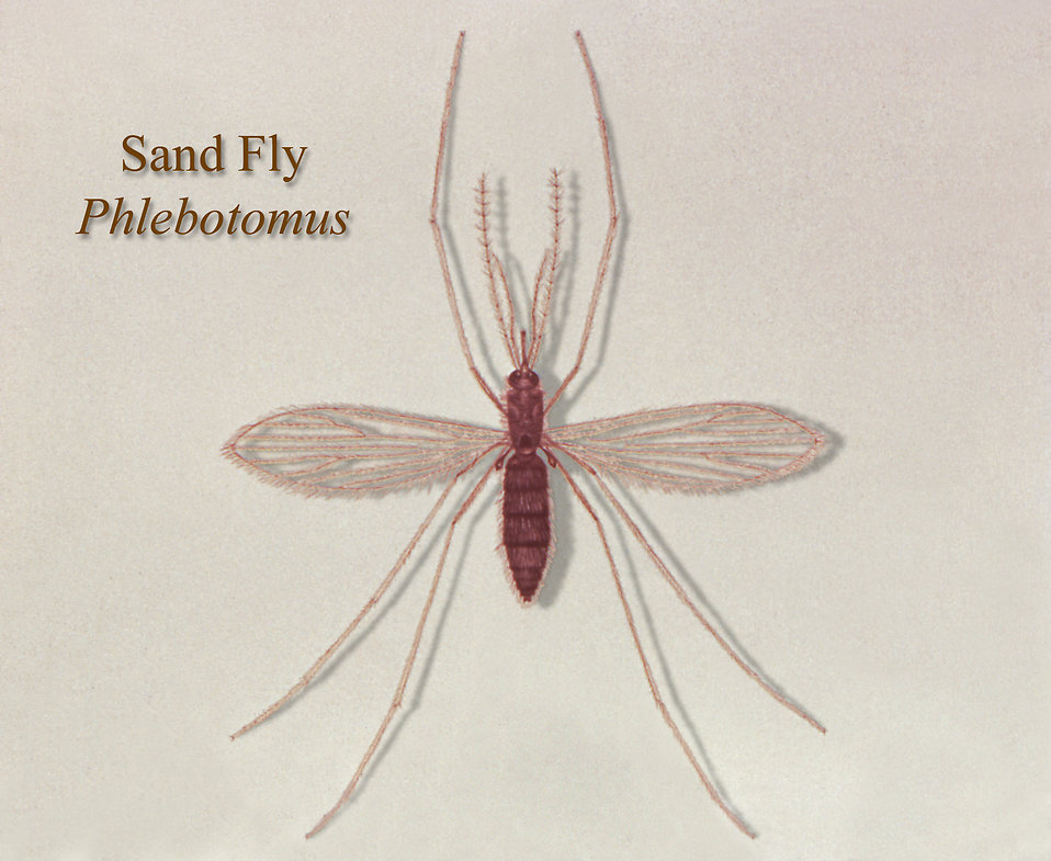 15423-illustration-of-a-sand-fly-pv