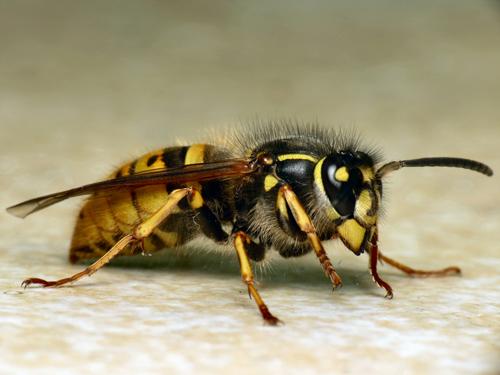 2 Common_Wasp_(Vespula_(Paravespula)_vulgaris)_(8654391297)