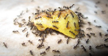 Ants_eating_fruit