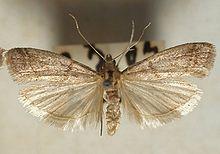 220px-Ephestia.elutella.mounted