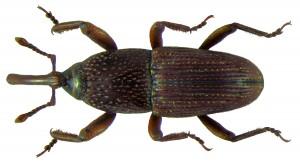Sitophilus_granarius_(Linné,_1758)
