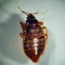 Tropical-Bed-Bugs-Cimex-Hemipterus