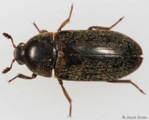 hide_beetle01