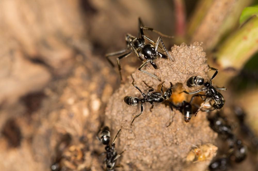 Megaponera_analis_raiding_termites