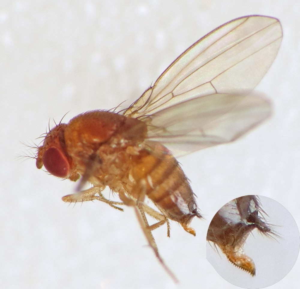 Spotted-wing_Drosophila_(Drosophila_suzukii)_female_(15195497409)
