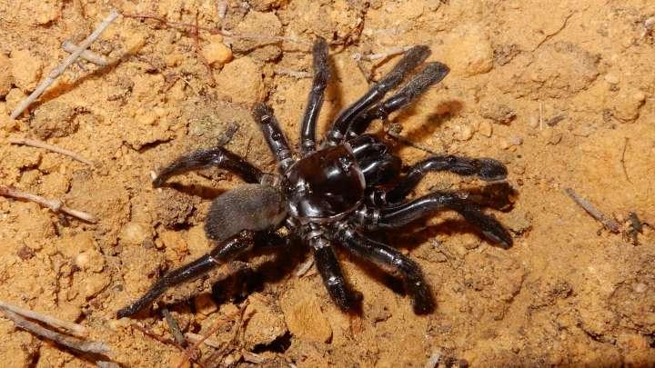 default-1525071408-trapdoor-spider