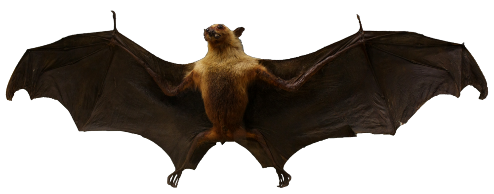 Chiroptera_-_Zoological_Museum_(Liège)