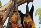 Indian_flying_foxes_(Pteropus_giganteus_giganteus)