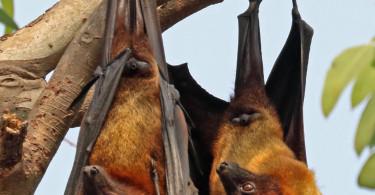Indian_flying_foxes_(Pteropus_giganteus_giganteus)