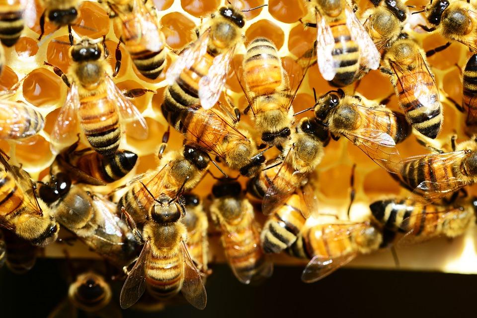 honey-bees-345620_960_720